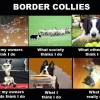 border-collies